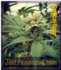 Female Critical Sour Feminized 4 Marijuana Seeds